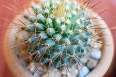 Kleine Kaktusspezies im braunen Vase Lizenzfreie Stockfotos
