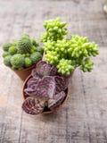 Kleine kalanchoehumilis of purple bevlekten kalanchoe met twee andere succulents op een houten achtergrond royalty-vrije stock foto