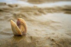 Kleine kammosselshell nestvogel in het zand stock foto's