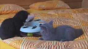 kleine katjes die met een stuk speelgoed spelen stock video