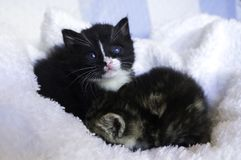 Kleine katjes die zich in de dekens nestelen Stock Afbeeldingen