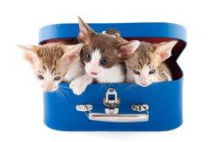 Kleine katten in mand Stock Afbeeldingen