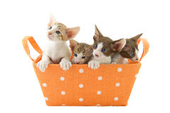 Kleine katten in oranje mand Stock Fotografie