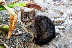 Kleine Katze der getigerten Katze mit dem Durchbohren des grünen Auges Stockbilder