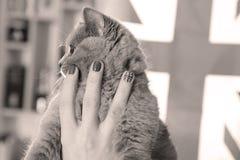 Kleine Katze des Britisch Kurzhaars und Union Jack-Flagge Lizenzfreies Stockbild