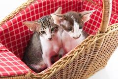 Kleine Katze, die im Picknickkorb sich versteckt Lizenzfreie Stockfotos