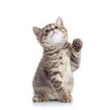 Kleine Katze mit der angehobenen Tatze stockbild
