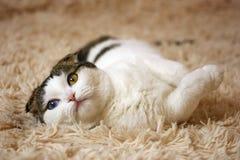Kleine Katze mit verschiedenen Farbaugen Stockfotos
