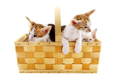 Kleine Katzen im Korb Stockbilder