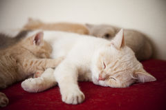Kleine Katzen mit Mutter Lizenzfreie Stockfotografie