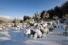 Kleine Kiefer mit Schnee Stockbilder