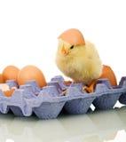 Kleine kip met eieren Stock Fotografie