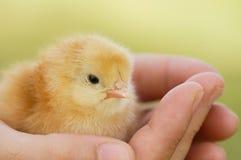 Kleine kip op hand Stock Foto's