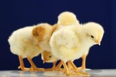 Kleine kippen Royalty-vrije Stock Afbeelding