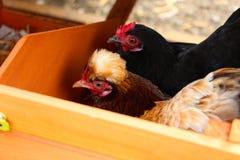 Kleine kippen Royalty-vrije Stock Fotografie