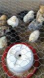 Kleine kippen Stock Afbeelding
