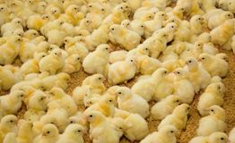 Kleine kippen bij het gevogeltelandbouwbedrijf Stock Fotografie