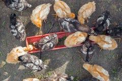 Kleine kippen in de werf aan het land Stock Foto