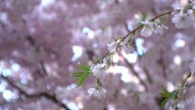 Kleine Kirschbaumblütenniederlassung stock footage