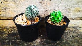 Kleine kleine Kaktustöpfe Stockfotografie