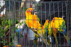 Kleine kleurrijke gele rode en groene papegaai in de kooi Stock Foto