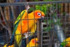 Kleine kleurrijke gele rode en groene papegaai in de kooi Royalty-vrije Stock Foto's