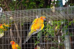Kleine kleurrijke gele rode en groene papegaai in de kooi Stock Foto's