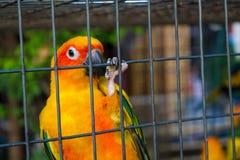 Kleine kleurrijke gele rode en groene papegaai in de kooi Royalty-vrije Stock Fotografie