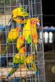 Kleine kleurrijke gele rode en groene papegaai in de kooi Stock Fotografie