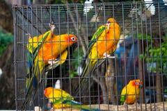 Kleine kleurrijke gele rode en groene papegaai in de kooi Royalty-vrije Stock Afbeeldingen