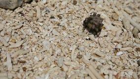 Kleine kluizenaarkrab in het zand stock videobeelden