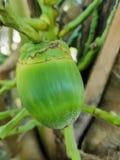 Kleine Kokosnoot royalty-vrije stock afbeelding