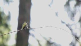 Kleine kolibrie omhoog tegen witte achtergrond bij rand van bos stock footage