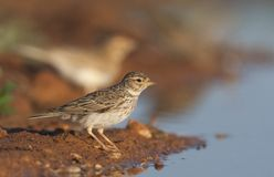 Kleine Kortteenleeuwerik, Lesser Short-toed Lark, Alaudala rufescens apetzii. Adult Lesser Short-toed Lark (Calandrella rufescens apetzii) standing at a drinking royalty free stock images