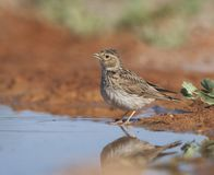 Kleine Kortteenleeuwerik, Lesser Short-toed Lark, Alaudala rufescens apetzii. Lesser Short-toed Lark (Calandrella rufescens apetzii) at drinking pool in the stock photos