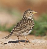 Kleine Kortteenleeuwerik, Lesser Short-toed Lark, Alaudala rufescens apetzii. Lesser Short-toed Lark (Calandrella rufescens apetzii) in Spanish steppes royalty free stock photography