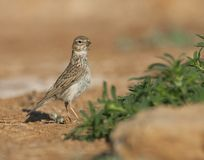 Kleine Kortteenleeuwerik, Lesser Short-toed Lark, Alaudala rufescens apetzii. Lesser Short-toed Lark (Calandrella rufescens apetzii) in Spanish steppes stock photos