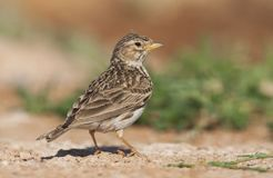 Kleine Kortteenleeuwerik, Lesser Short-toed Lark, Alaudala rufescens apetzii. Lesser Short-toed Lark (Calandrella rufescens apetzii) in Spanish steppes royalty free stock image