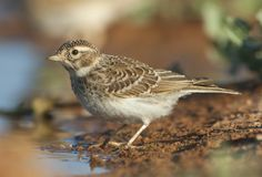 Kleine Kortteenleeuwerik, Lesser Short-toed Lark, Alaudala rufescens apetzii. Immature Lesser Short-toed Lark (Calandrella rufescens apetzii) at drinking pool in stock photos