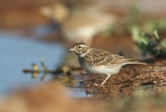 Kleine Kortteenleeuwerik, Lesser Short-toed Lark, Alaudala rufescens apetzii. Immature Lesser Short-toed Lark (Calandrella rufescens apetzii) at drinking pool in royalty free stock photos