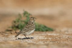 Kleine Kortteenleeuwerik, Lesser Short-toed Lark, Alaudala rufescens apetzii. Immature Lesser Short-toed Lark (Calandrella rufescens apetzii) standing alert in stock photography