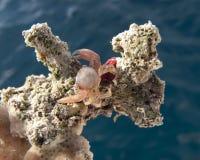 Kleine krab op koraal Stock Afbeelding