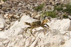 Kleine Krabbe Stockbild