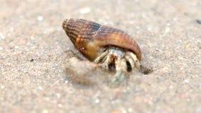 Kleine Krabbe des Einsiedlers, die im Oberteil sich versteckt stock video