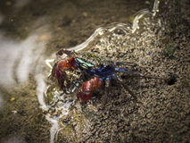 Kleine Krabbe im Mangrovenwald von Bali, Indonesien Lizenzfreies Stockbild