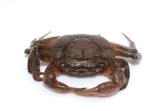 Kleine Krabbe lokalisiert auf weißem Hintergrund lizenzfreie stockfotos