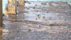 Kleine Krabben, die das Gehen ungefähr auf Küste tragen stock video