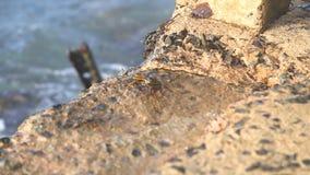 Kleine Krabben, die das Gehen ungefähr auf Küste tragen stock video footage