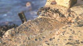 Kleine Krabben, die das Gehen ungefähr auf Küste tragen stock footage