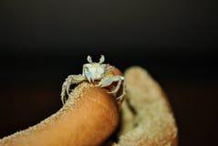 Kleine krabben op het zand Stock Afbeeldingen